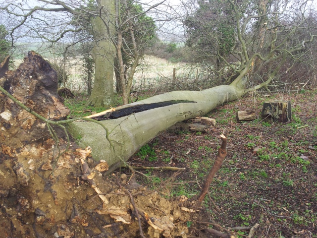 Storm damage - one beech down
